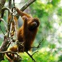 Ape In A Tree 2
