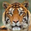 tigers lions avatars 2082